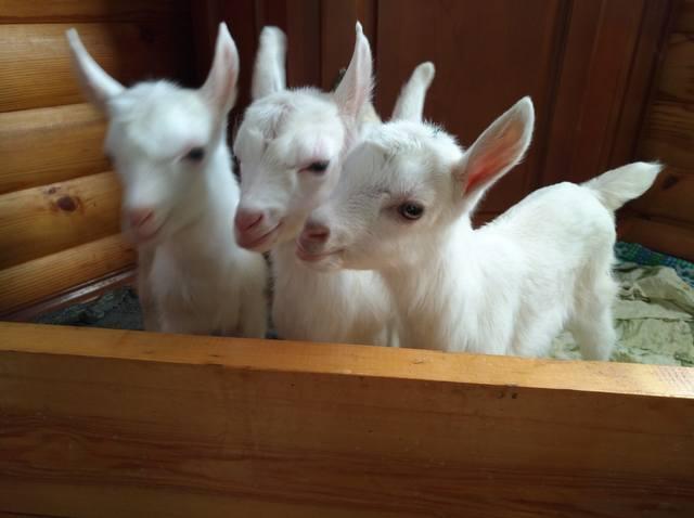 Маленькие козлята в доме