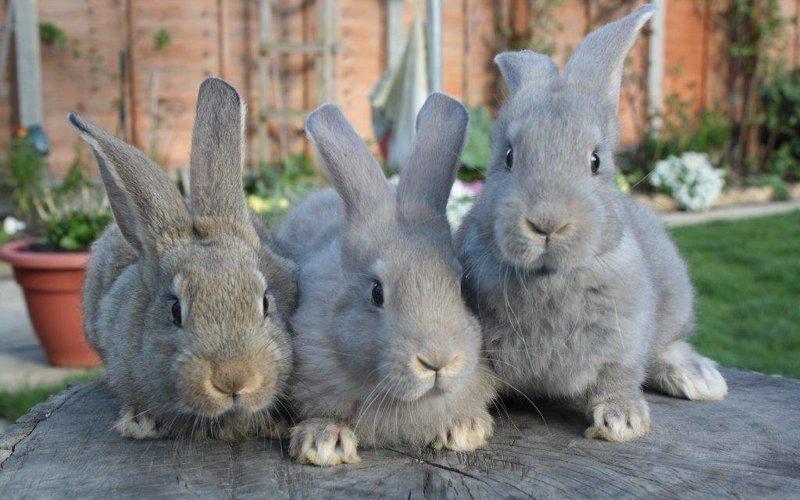 Мокрец — опасное заболевание для кроликов