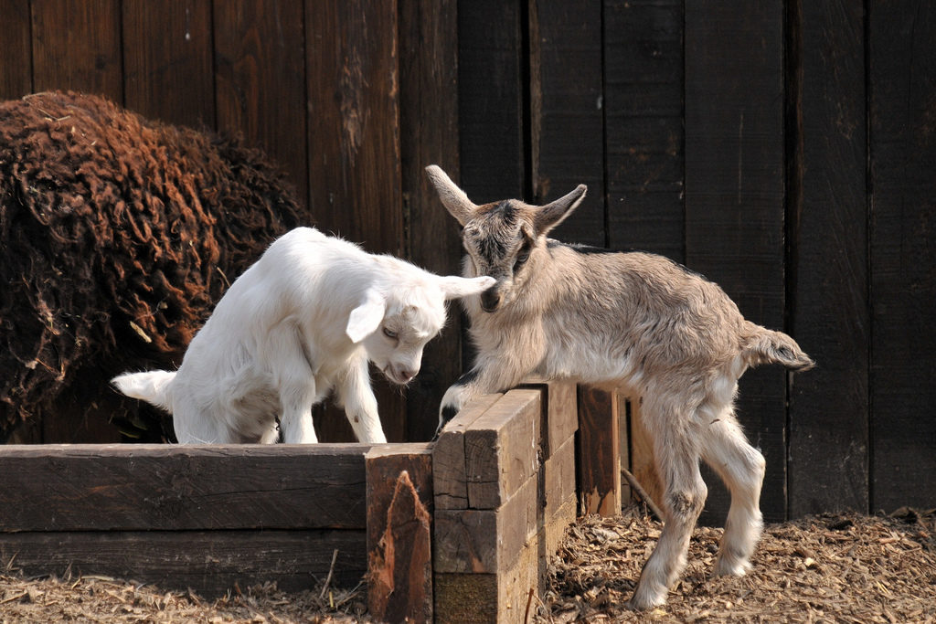 Молодняк у коз развивается стремительно