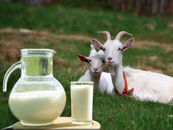 Молоко козы полезно
