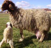 Молоко овец