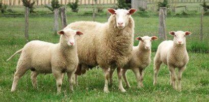 Молочные породы овец