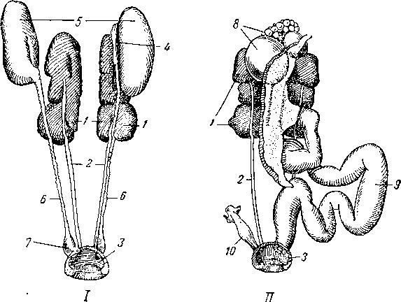 Мочеполовые органы голубя