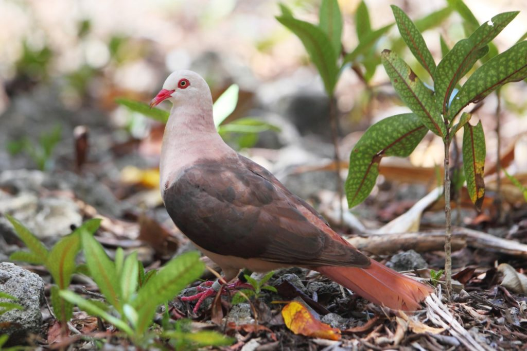 Настоящий розовый голубь в естественной среде обитания