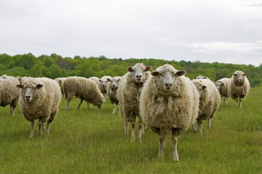Начинать бизнес на разведении овец лучше с нескольких десятков голов