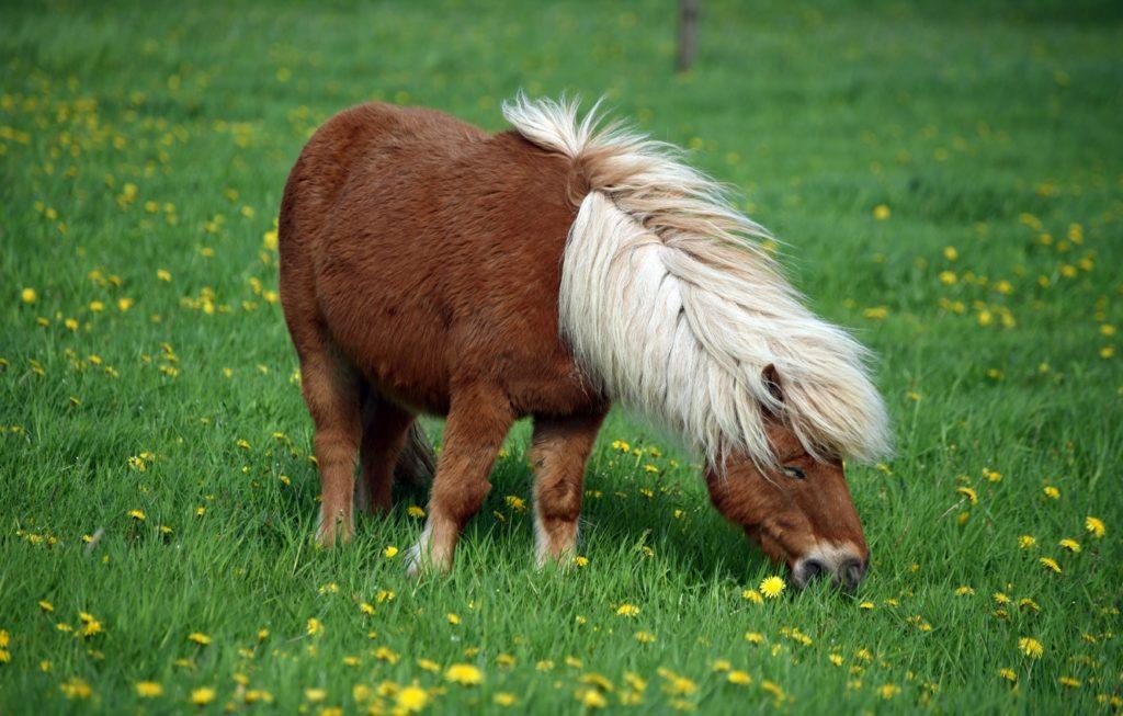 На выпасе пони могут провести целый день