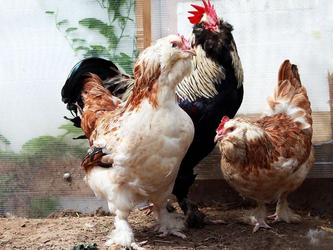 На домашнем подворье микоплазмоз у кур встречается редко