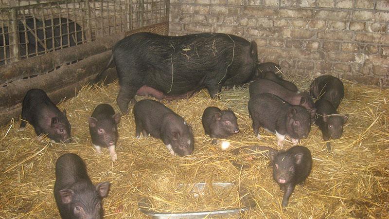 На свиноматку с поросятами выделяют 5 м2