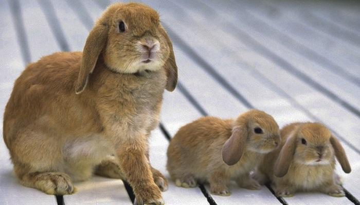 На этапе взросление скелет кролика весит почти пятую часть от общего веса