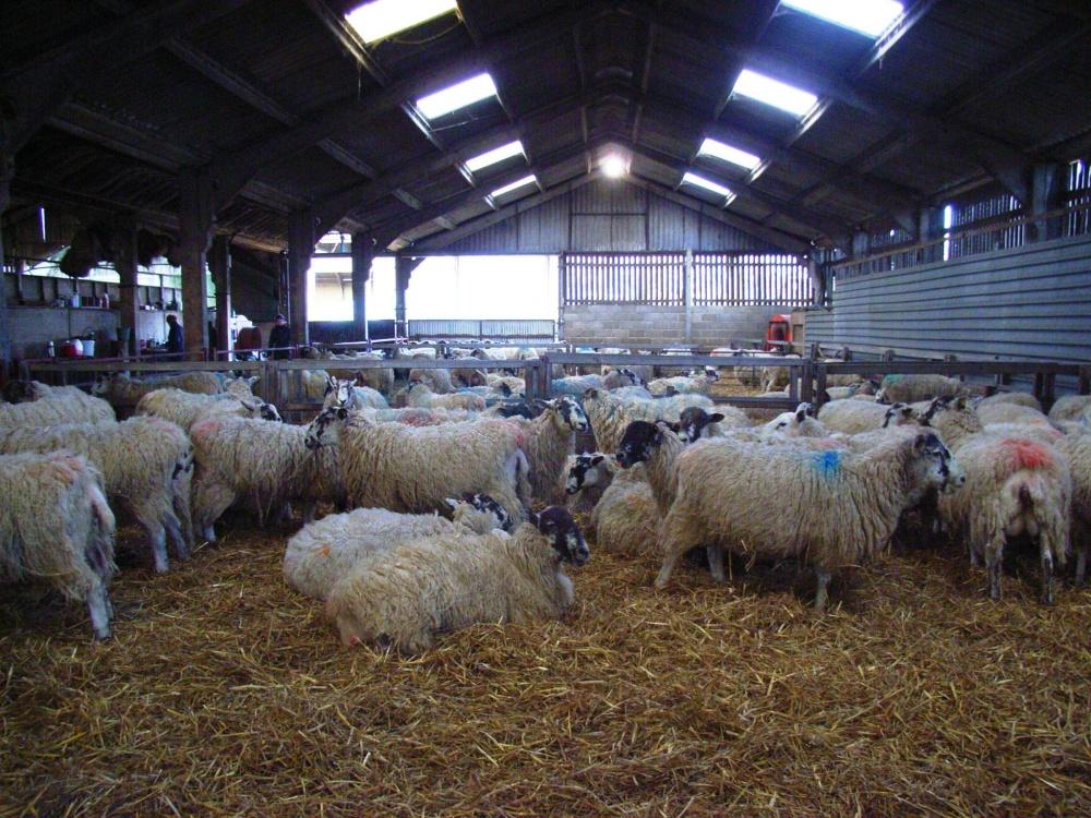 Необходимо регулярно проводить дезинфекцию в овчарне