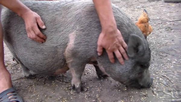 Общение с вьетнамскими свинками доставляет человеку радость