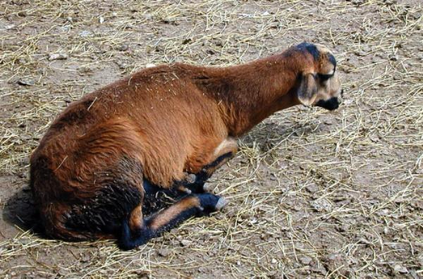 Овца, больная брадзотом