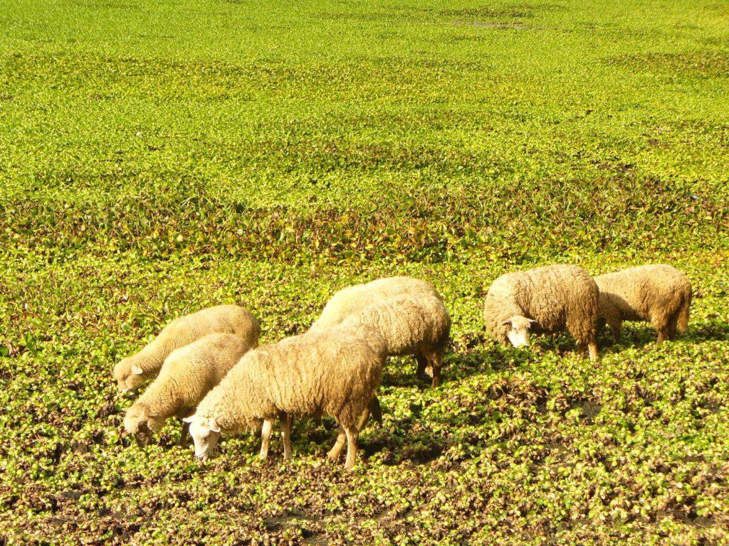 Овцы должны проводить на пастбище по нескольку часов в день
