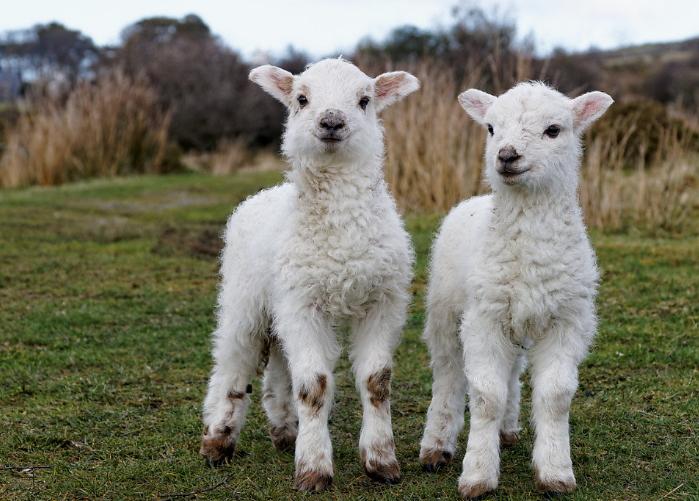 Овцы отличаются высокой производительностью и могут приносить до 5 ягнят в год