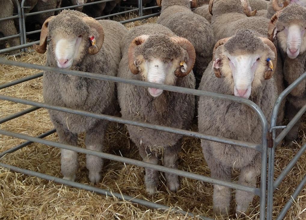 Организация овцефермы требует тщательного расчета и подробного планирования