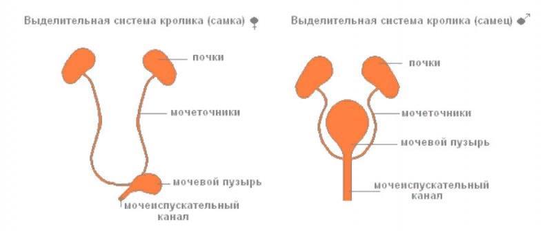Органы выделительной системы