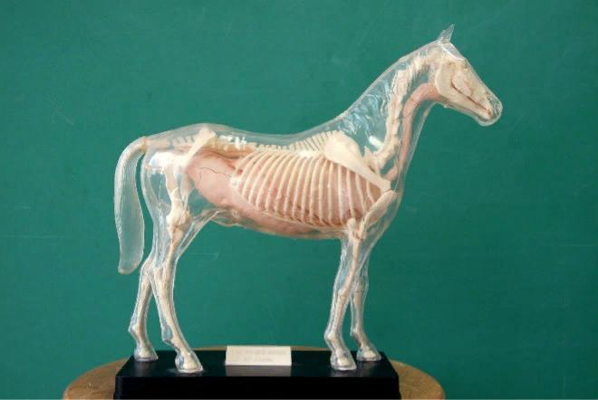Основные группы скелета лошади – это череп, тело и конечности