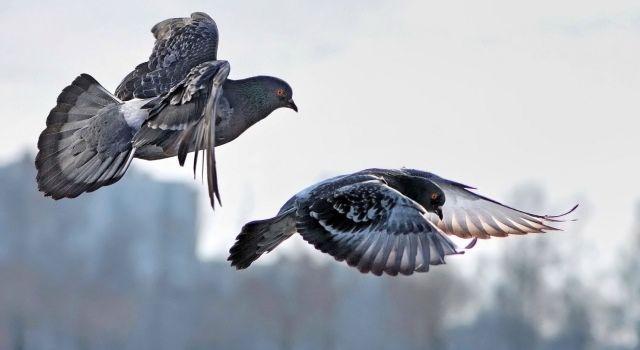Особенности ЖКТ голубей не позволяют им питаться во время полета
