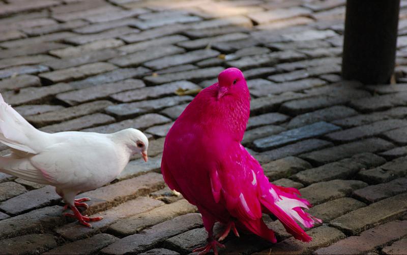 Особи с кричащим розовым оперением совершенно не похожи на настоящих розовых голубей