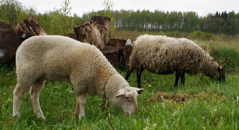 Остфризская порода — рекордсмен в надоях среди овец
