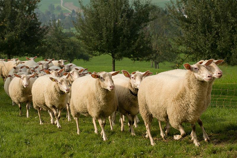 Остфризские овцы