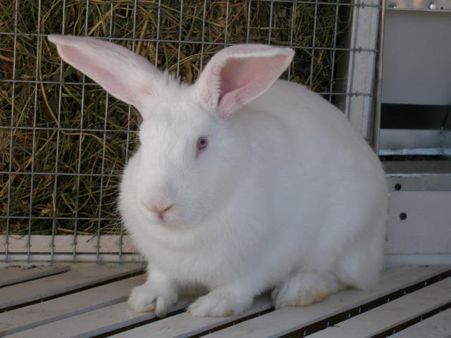 Откормленный кролик