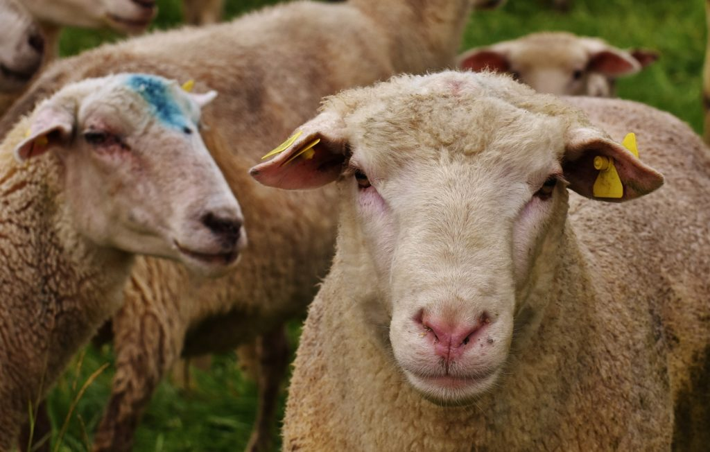От брадзота овцы погибают через 2 часа