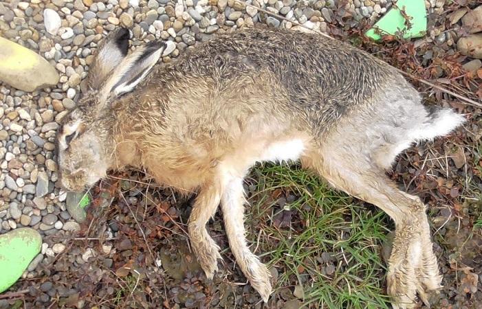 От инфекционного стоматита кролики часто погибают