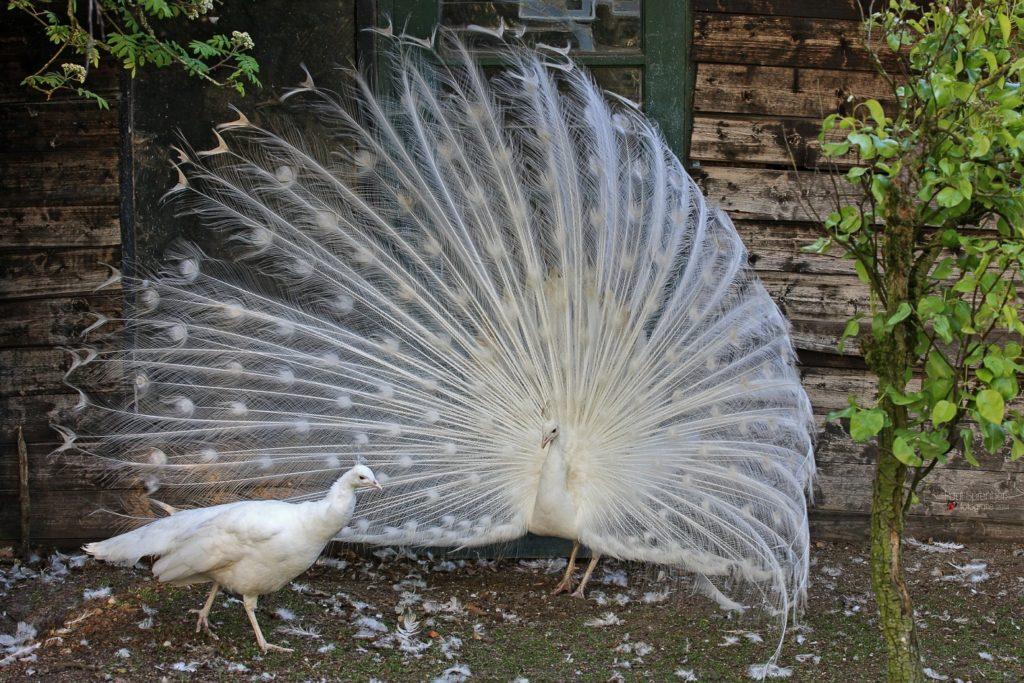 Павлин обыкновенный белого окраса