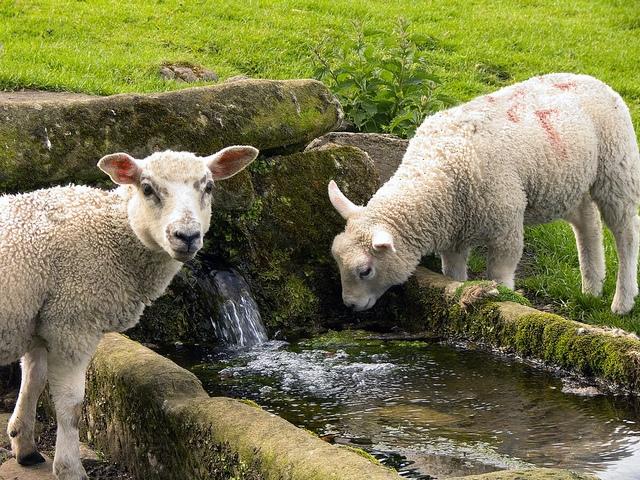 Пасите овец вблизи водоемов