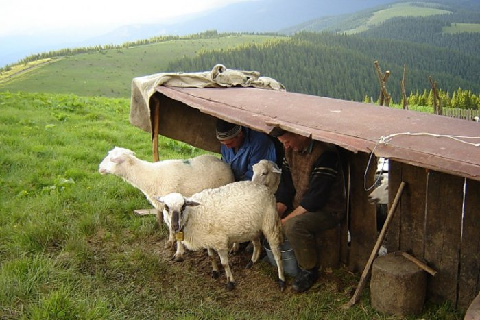 Пастухи, зная о полезных свойствах овечьего молока, доят животных прямо на выпасе