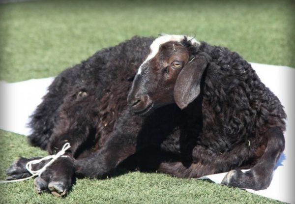 Перед забоем барана не кормят на протяжении 10-12 часов