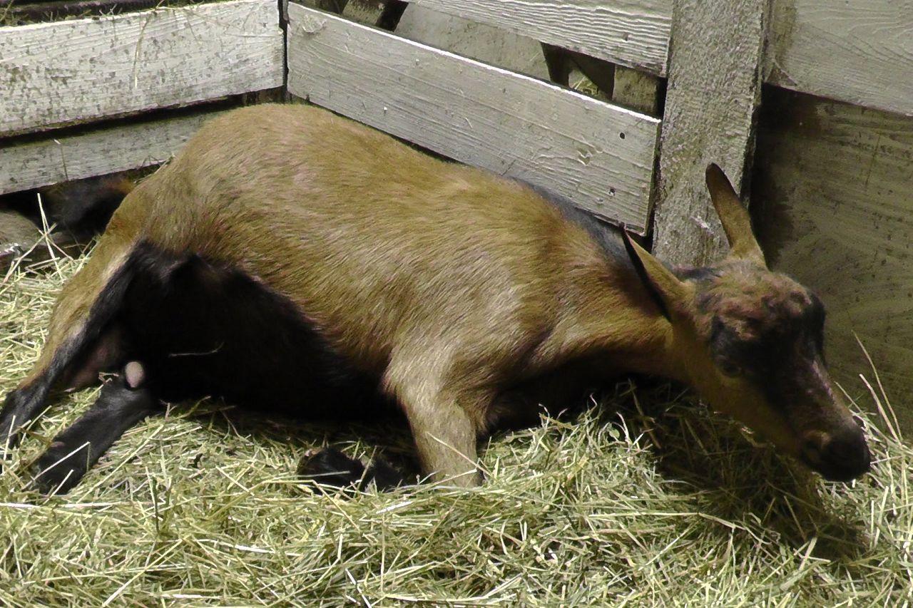 Перед окотом коза начинает вести себя беспокойно, ложится набок, пытаясь найти удобную позу