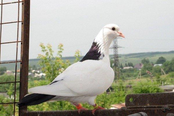 Перед покупкой птицу рекомендуется внимательно осмотреть, обращая внимание на породные качества