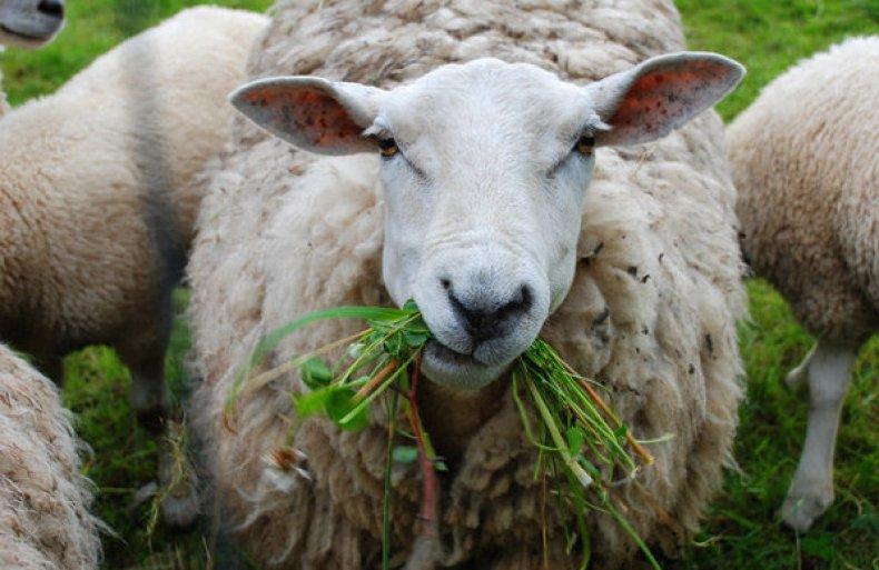 Перед тем, как первый раз выгонять стадо на пастбище, свежую траву нужно постепенно подкладывать в кормушки