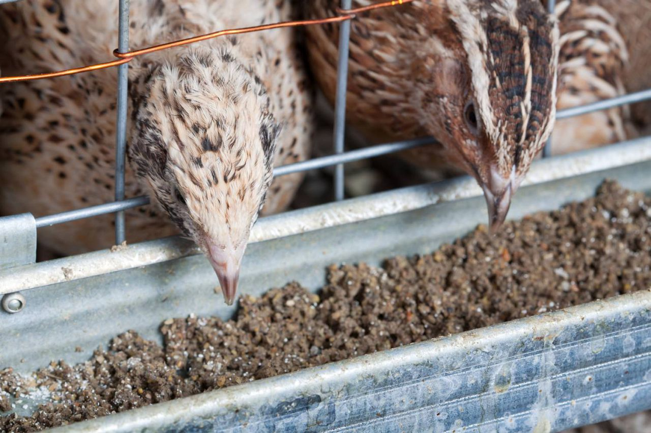 Перепелки любят корм из смеси зерновых, особенно кукурузы и гороха