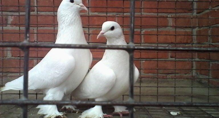 Пернатым требуется просторная голубятня с кормушками, поилками, купелью