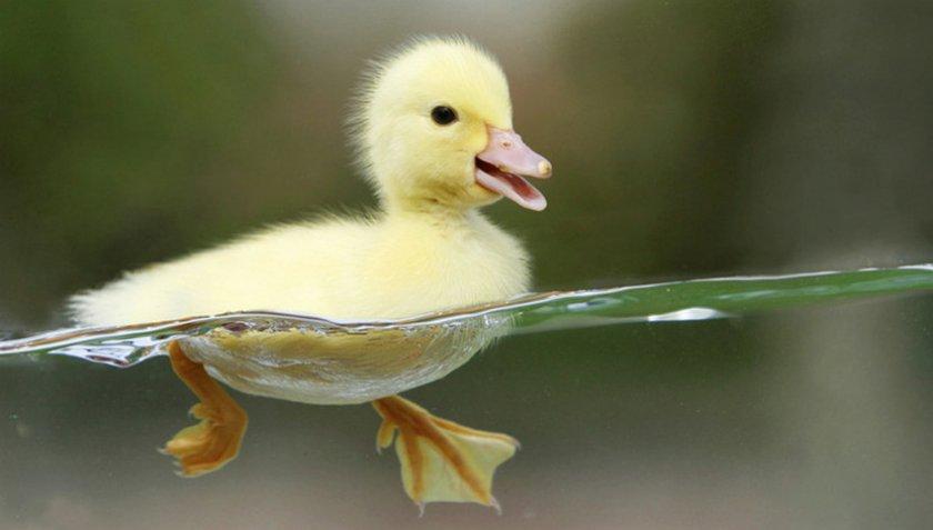 Плескаться в воде любят и взрослые утки, и утята