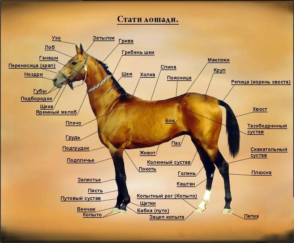 Подробное строение частей тела лошади
