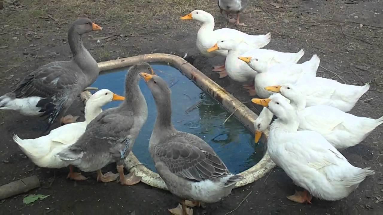 Помимо хорошего питания, у уток и гусей постоянно должен быть выход к небольшому бассейну