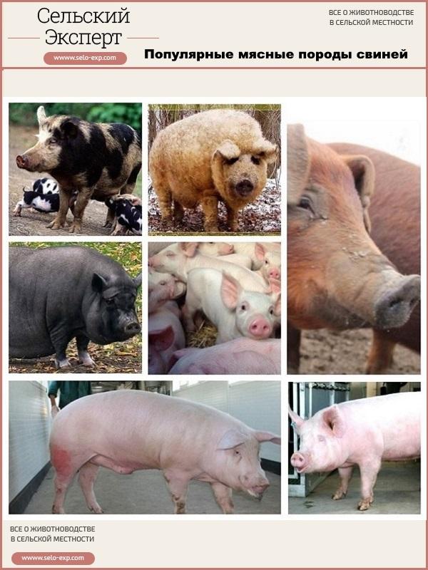 Популярные мясные породы свиней