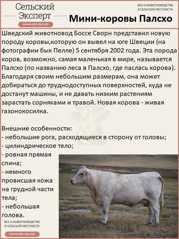 Порода мини-коров Палсхо
