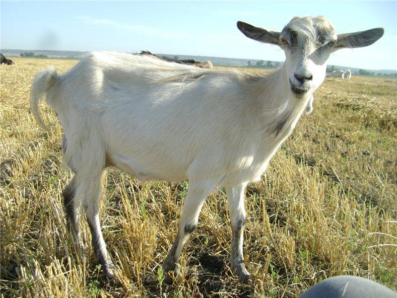 После родов козу рекомендуется доить пять раз за день