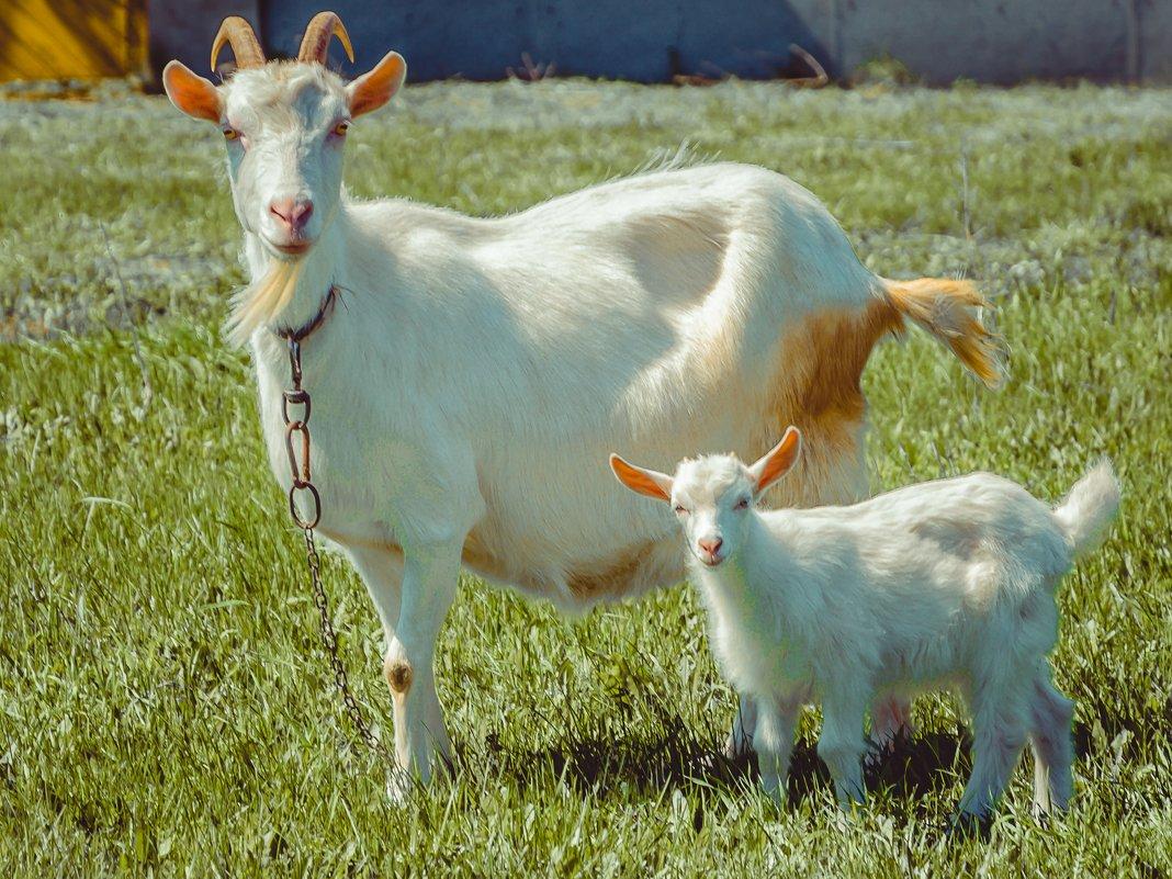 Признаки окота у козы