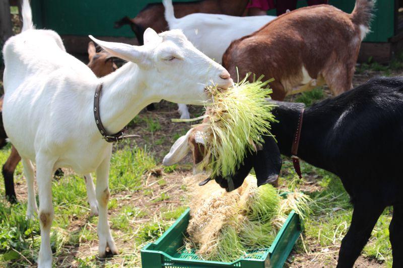 При запуске нужно убирать сочные корма из рациона козы