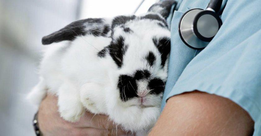 При подозрении на стоматит крольчат лучше показать врачу