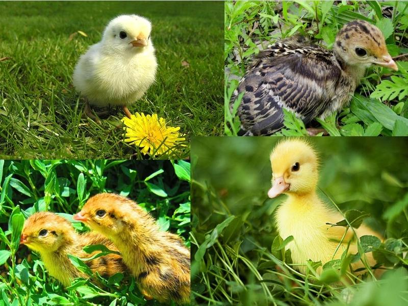 Птенцы разных птиц