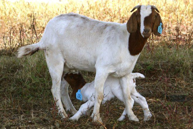 Рацион беременных и кормящих животных нужно составлять особенно тщательно