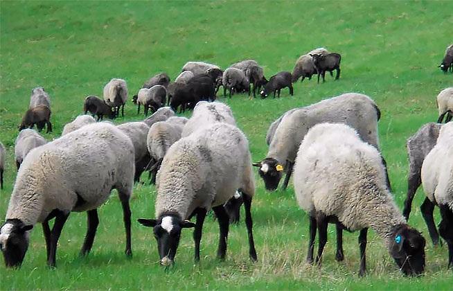 Романовская овца примечательна внешним видом — белая шерсть в сочетании с темной головой и ногами