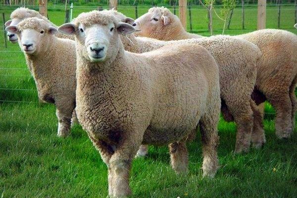 Ромни-марш - популярная порода овец мясного направления